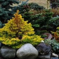 Пихта кавказская 'Golden fir' в композиции