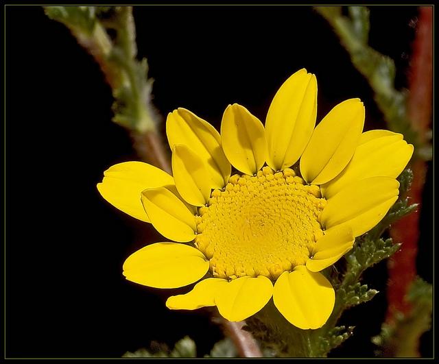 Размножение: растение размножается семенами, которые высевают сразу после созревания.  Зимой их хранят в теплице...