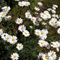 Anacyclus-pyrethrum