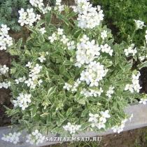 Арабис кавказский 'Snowcap' (variegata)