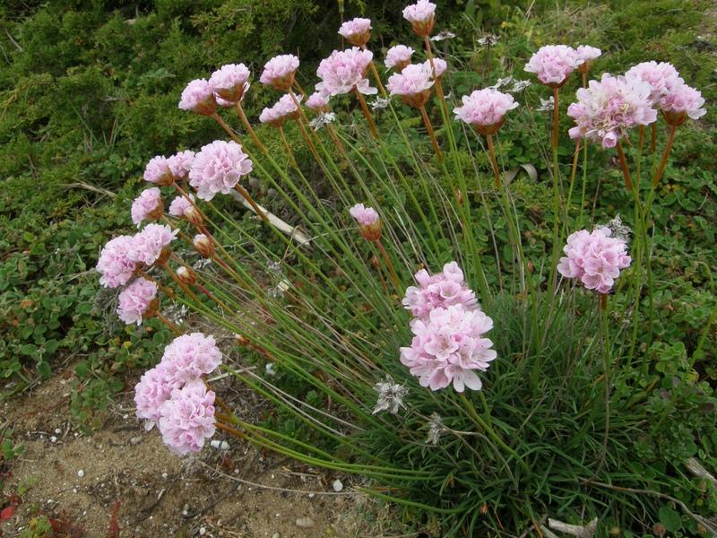 Статица цветов на клумбе
