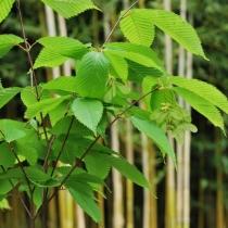 Acer-Carpinifolium