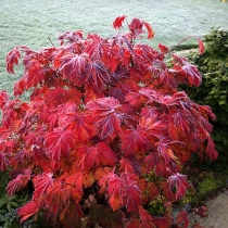 Acer-Japonicum-aconitifolium-The-Fern-Leaf-Maple