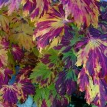 Acer-japonicum-Aconitifolium1