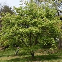 Acer-japonicum-Aconitifolium2