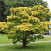 Acer-japonicum-Aureum