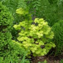 Acer-japonicum-aurea
