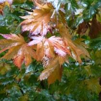 Acer-japonicum