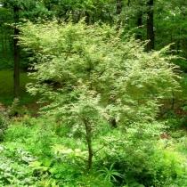 Acer-palmatum-Beni-Schichihenge