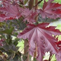Acer-platanoides-Crimson-Sentry