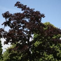 Acer-platanoides-Faassens-Black