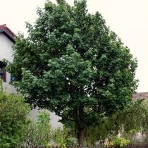 Acer-platanoides