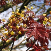 Acer-platanoides_Norway-Maple