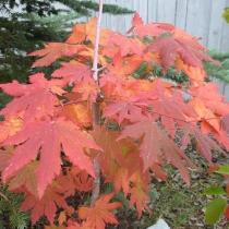 Acer-pseudosieboldianum
