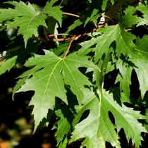 Acer-saccharinum