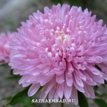 Каллистефус китайский, или астра однолетняя