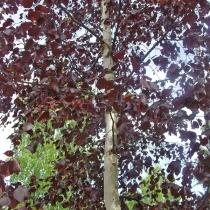 "Betula pubescens ""Rubra"""