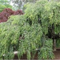 Betula-pendula-Tristis