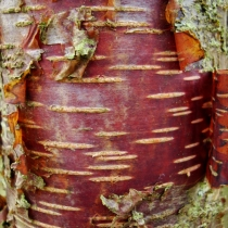 Betula-raddeana