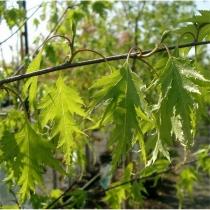 betula-pendula-Dalecarlica