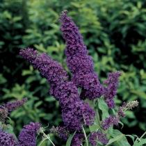 Buddleia-Purple-Emperor