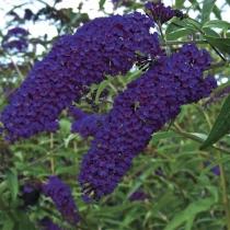 Buddleja-davidii-Empire-Blue