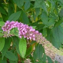 Buddleja-davidii-Nanho-Purple
