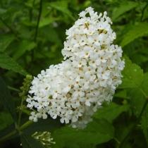 Buddleja-davidii-White-Bouquet