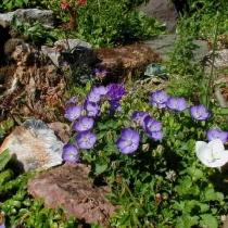Колокольчик карпатский 'Maie Blyth'