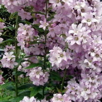 Колокольчик молочноцветковый 'Loddon Anna