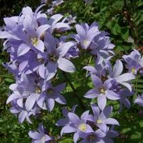 Колокольчик молочноцветковый 'Prichard's Variety'