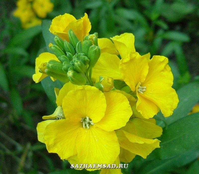 лакфиоль  цветов