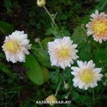 Хризантемы корейские