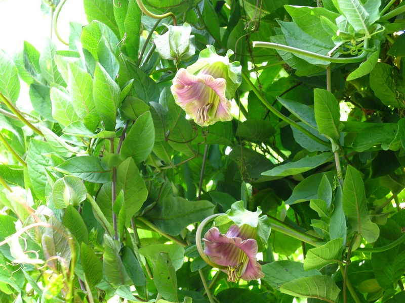 цветы кобея лазающая