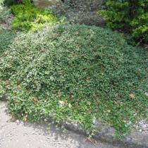 Cotoneaster-dammeri