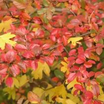 Cotoneaster-integerrimus