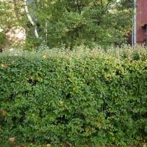 Cotoneaster-lucidus