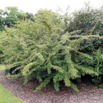 Cotoneaster henryanus