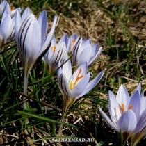 Крокус разноцветный, весеннецветущий