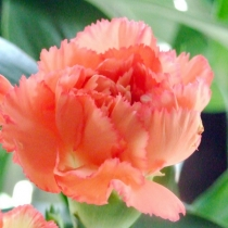 Гвоздика садовая (голландская)