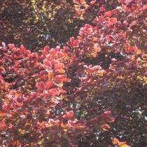 fagus-sylvatica-roseomarginata