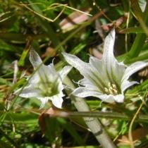 Gentiana-newberryi