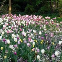Гипсофила метельчатые и тюльпаны