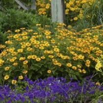 Гелиопсис 'Tuscan Sun' в контрастном цветнике