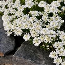 Иберис вечнозеленый