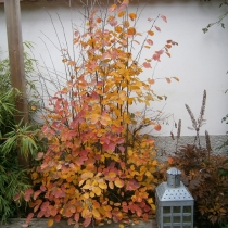 ирга обыкновенная осенью