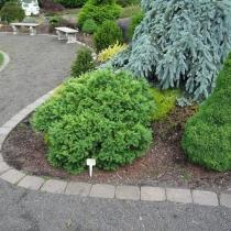 Larix gmelinii 'Romberg Park'