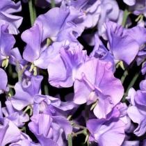 Lathyrus odoratus 'Ethel Grace'