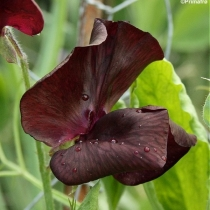 Lathyrus odoratus Midnight