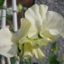 Sweet-Pea 'Jilly'